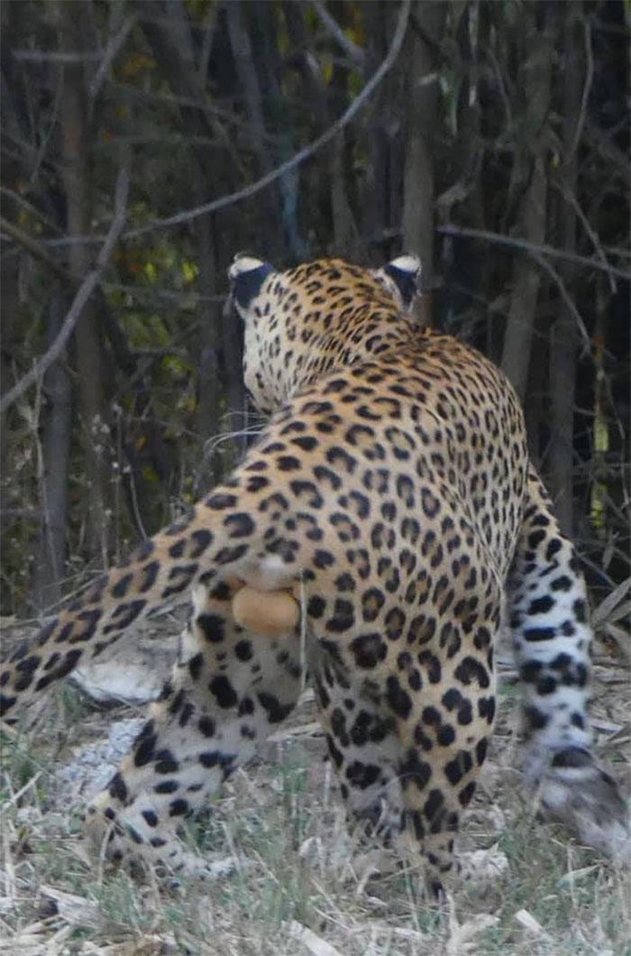No es la foto más majestuosa de un leopardo, pero...