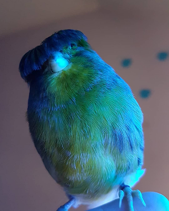 Barry The Gloster Canary Feeling Blue
