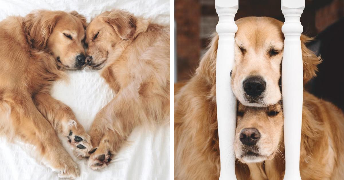 I Love Photographing My Two Golden Retrievers Who Are The Most Adorable Snuggling Sisters (233 Pics)