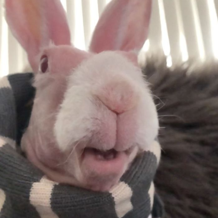 Mr. Bigglesworth, The Hairless Bunny, Was Rescued From Euthanasia, Now Lives As An Instagram Star