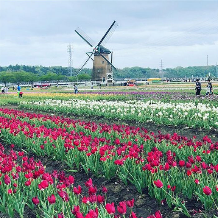 800,000 Tulips Were Cut Down In This Japanese City After Its Residents Failed To Follow Quarantine Rules