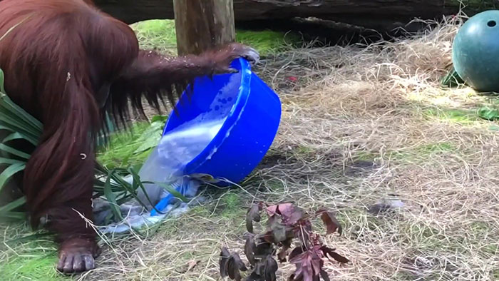 This Sanctuary Captures An Incredible Moment 34-Year-Old Orangutan Learns To Wash Her Hands