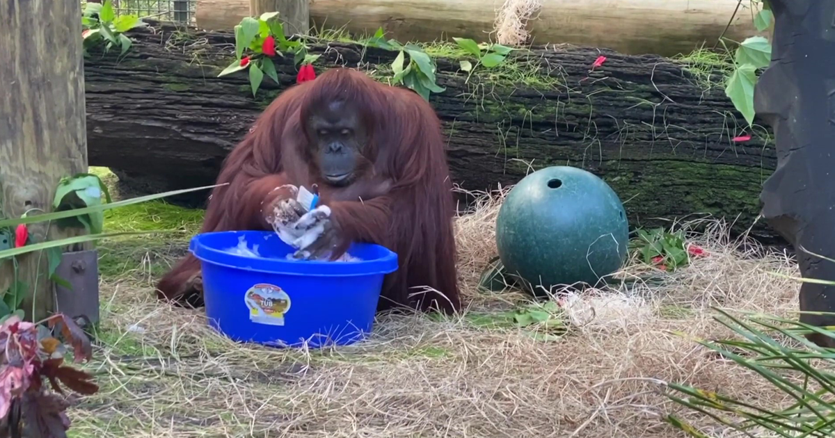 This 34-Year-Old Orangutan Who Learned To Wash Her Hands Is Setting An Example For All Of Us