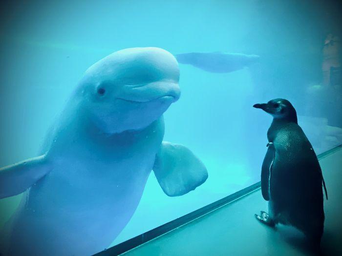 Penguins Meet Beluga Whales In A Closed