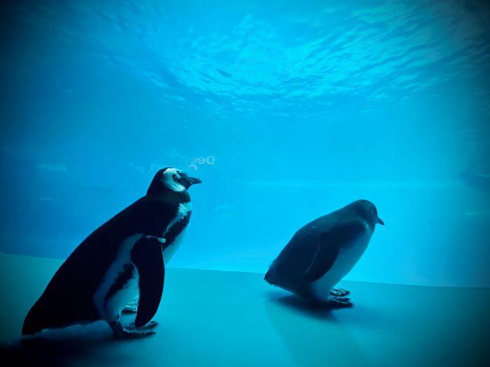 Pingvini se susreću s kitovima Beluga u zatvorenom akvariju, preslatko je koliko su znatiželjni
