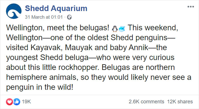 Penguins Meet Beluga Whales In A Closed Aquarium And It's Adorable How Curious They Are