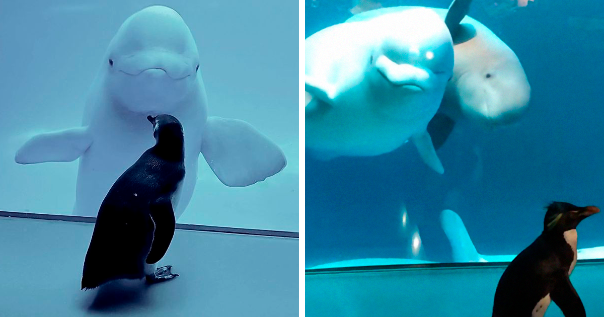Penguins Get To Meet Beluga Whales While Aquarium Is Closed - bored panda