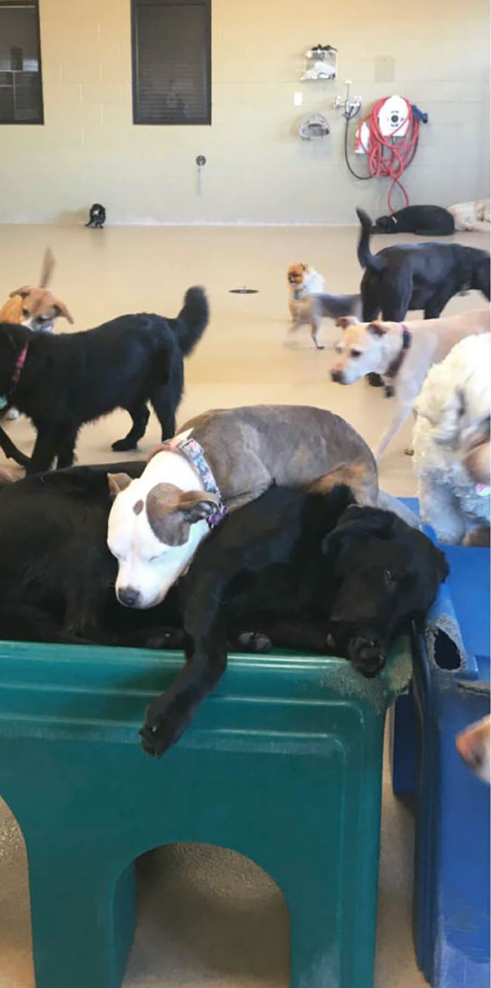 Dog Finds The Fluffiest Dogs In Daycare So She Can Nap On Them