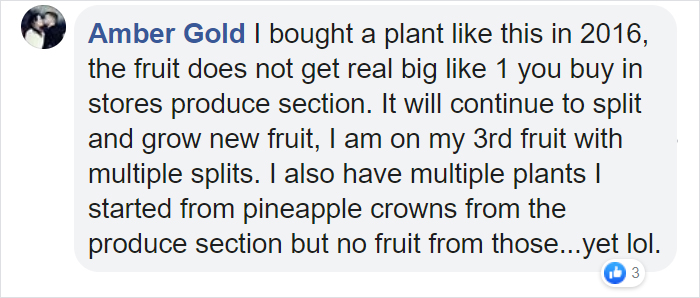 Home Depot Is Selling A Pineapple Plant For $30 That Will Bring The Tropics To Your Home