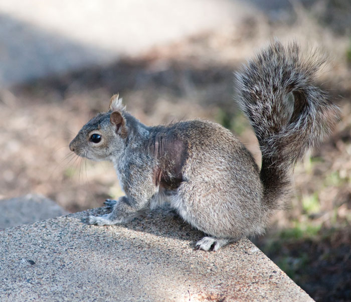 Neighbor Says Their Car Won't Start, Woman Finds A Squirrel She Tried To Fatten Up Has Had Babies Inside The Car