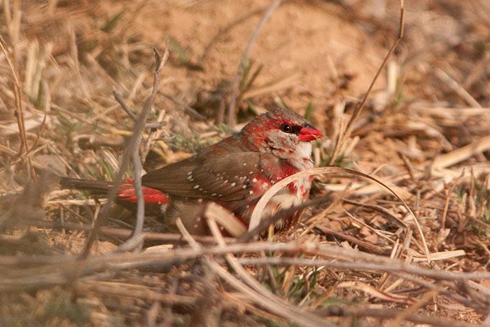 Strawberry-Finch-Bird