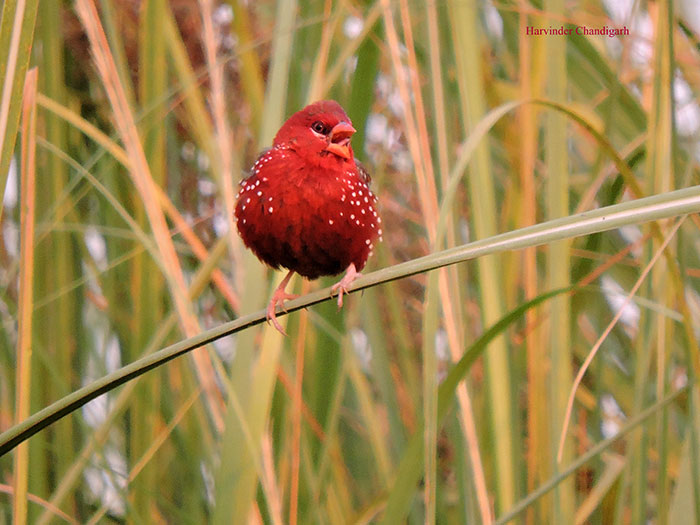Strawberry-Finch-Bird