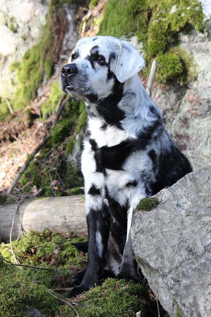 Blaze je čisti crni labrador retriver, ali malo se razlikuje od ostalih (27 slika)