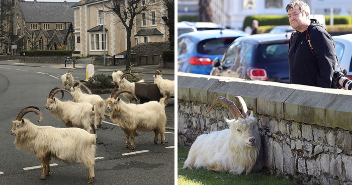 Wild Goats Seize The Moment To Take Over This UK Town Which Is Empty Due To Coronavirus