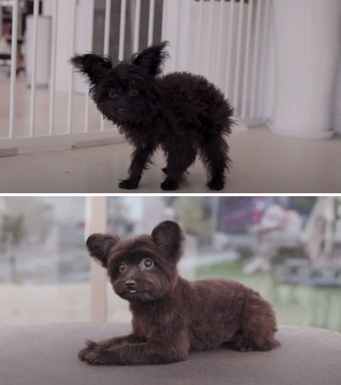 Dogs-Haircut-Before-After-Groomer-Shu-And-Tree