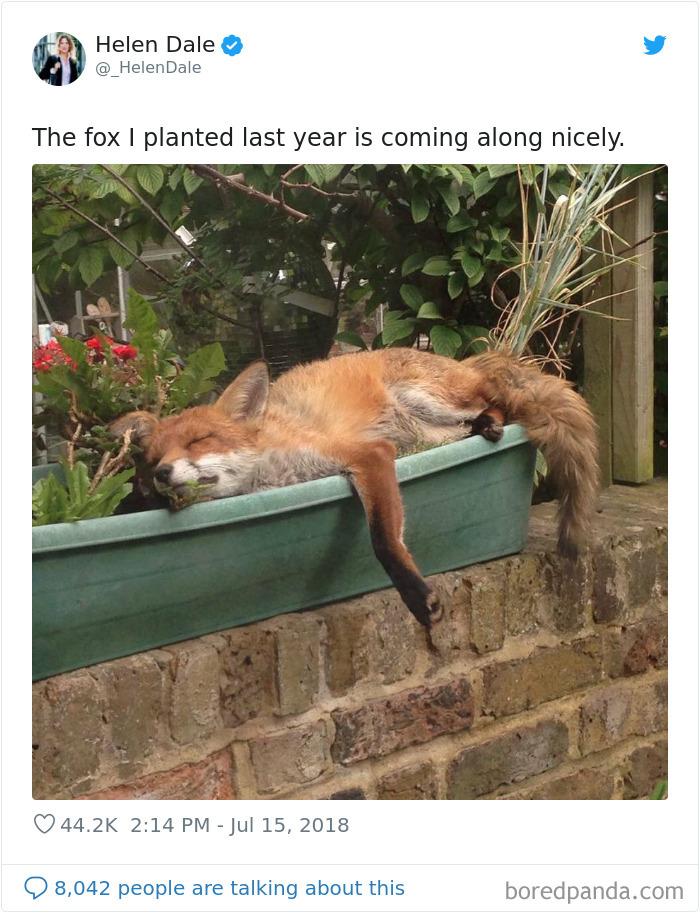 El zorro que planté el año pasado está creciendo bien