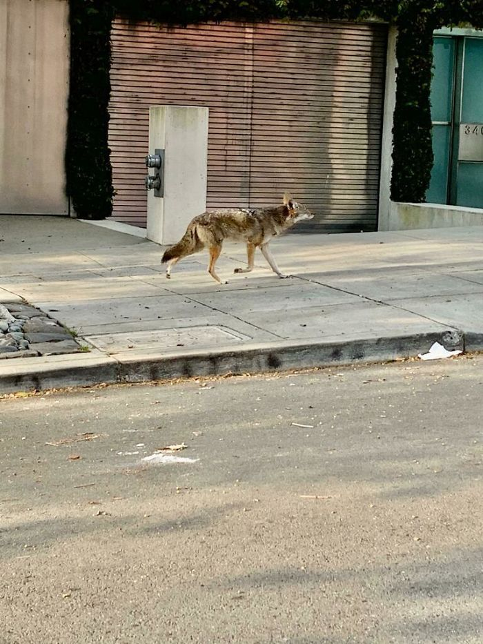 Coyote On The Streets Of San Francisco During The Coronavirus Shelter In Place Order