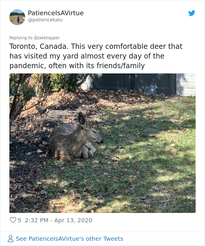 Deer Invade Residential Areas In Toronto, Canada