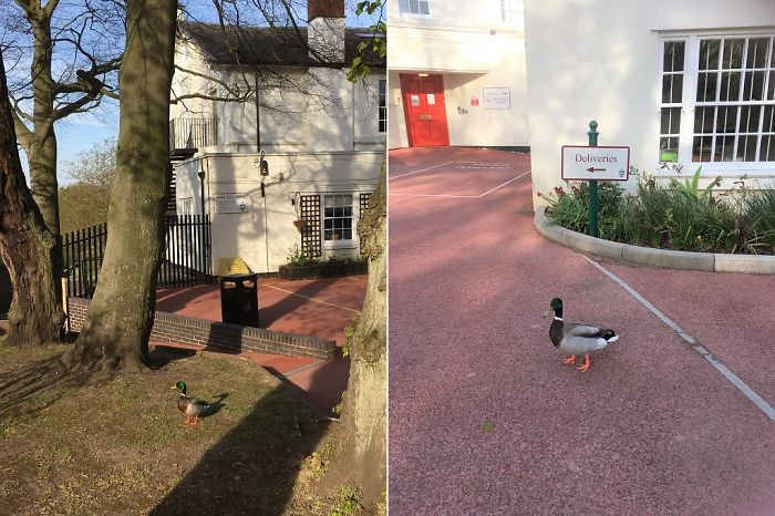 A Wild Duck Roaming Outside A School In Edgbaston, Birmingham, UK