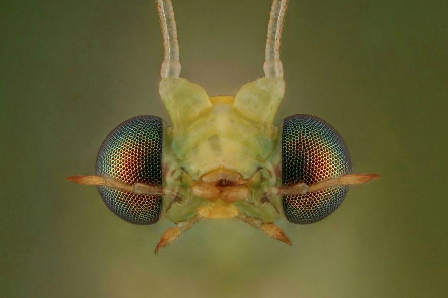 Yeşil Lacewing