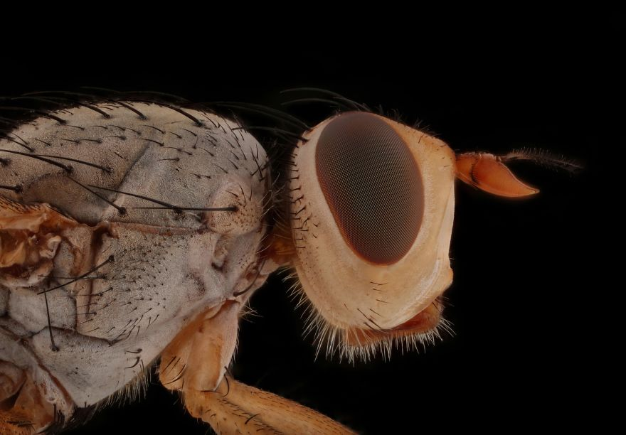 Homoneura Fly