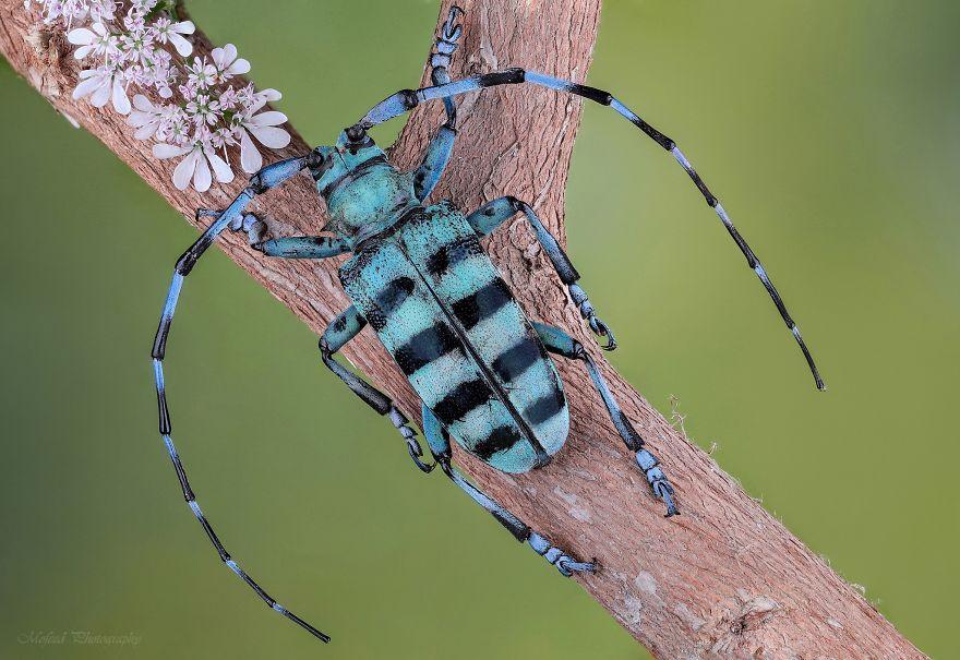 Mavi Longhorn Böceği
