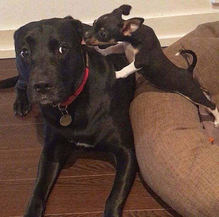 Not Sure How My Dog Feels About Her New Foster Sister
