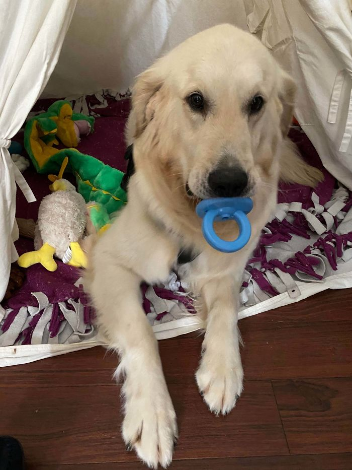 Golden Retriever Rescue With A Lot Of Anxiety - He Likes To Just Hold Toys In His Mouth So I Had To Get Him This One. It's Too Damn Cute