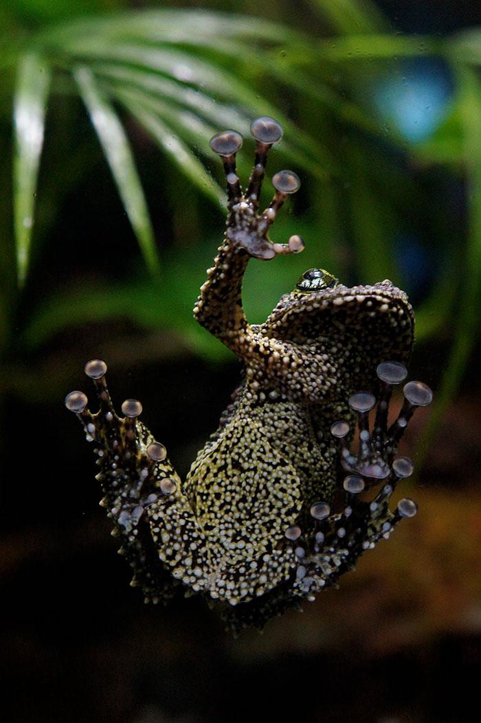 Vietnamese-Mossy-Frog