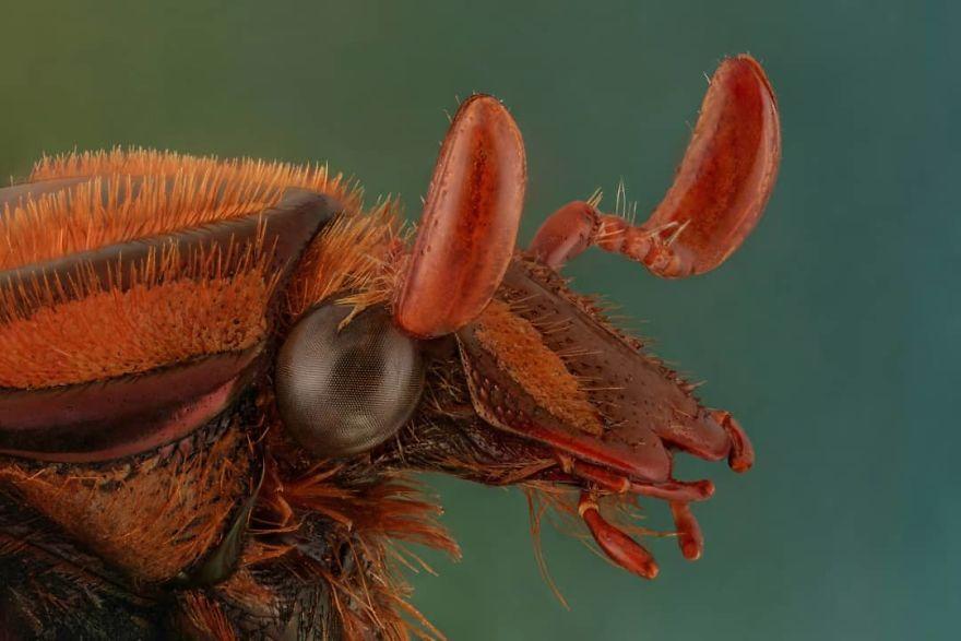 Coilodera Kalimantanica
