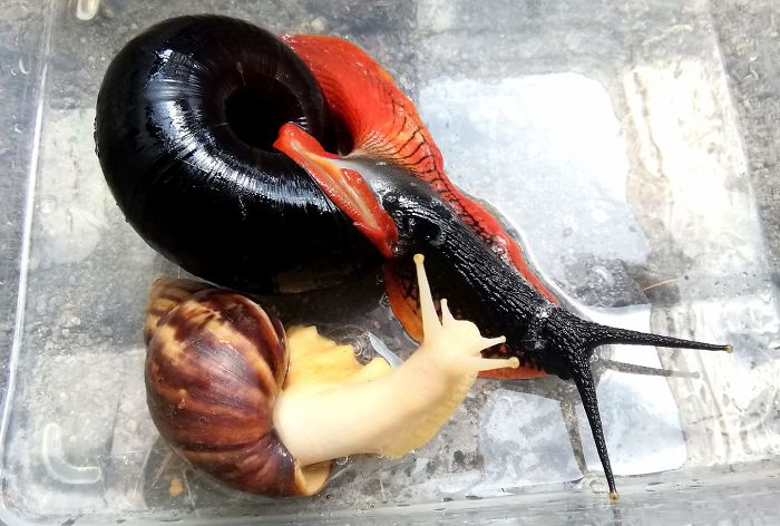 This Fire Snail Is The Vampire Equivalent Of A Slug