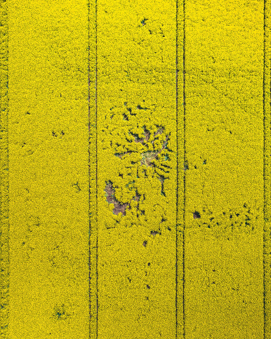 Rapeseed Field ( Poland)