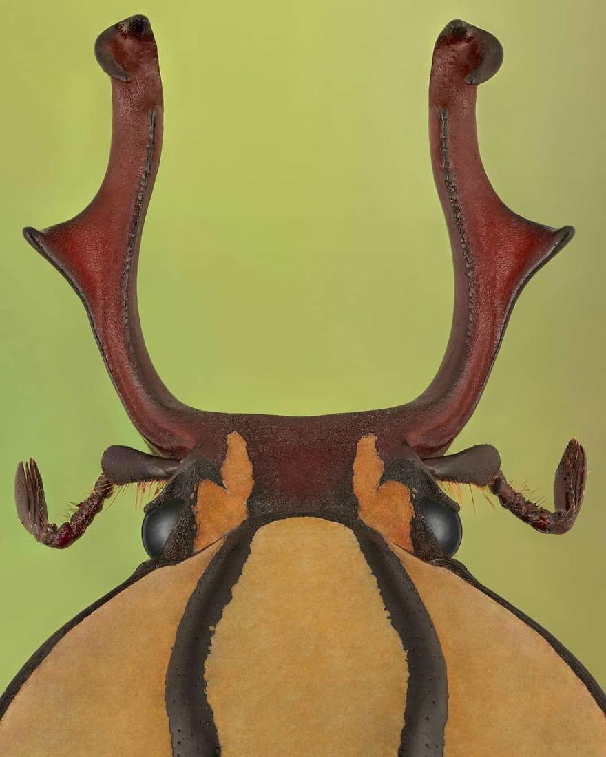 Dicranocephalus Wallichii