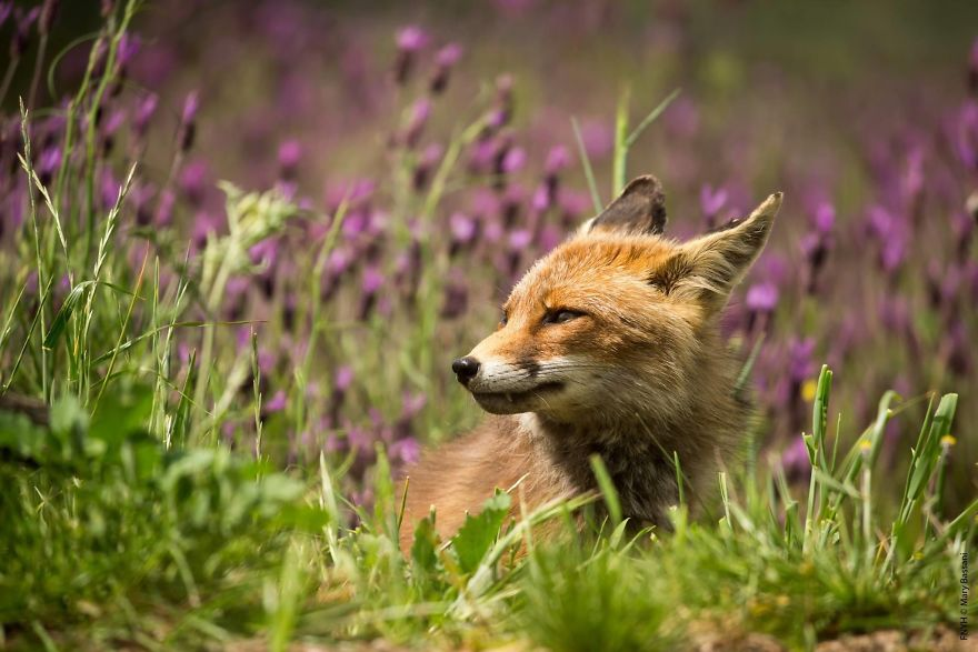 A Beautiful Red Fox Smelling The Lavender Perfume