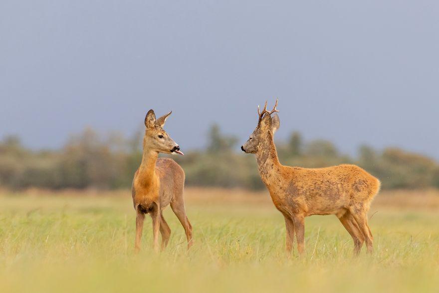 """""""It's Too Late Roebuck, Too Late."""" Roebuck Deer, Estonia"""