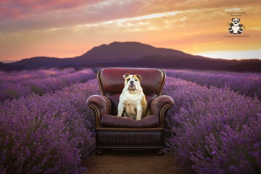 Animal-Dog-Photography-Bridestowe-Lavender-Estate-Tasmania-Deb-Sulzberger
