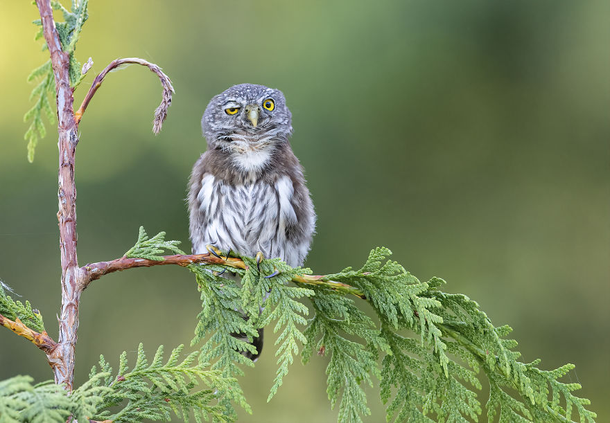 """Rough Night."" Northern Pygmy Owl, British Columbia, Canada"