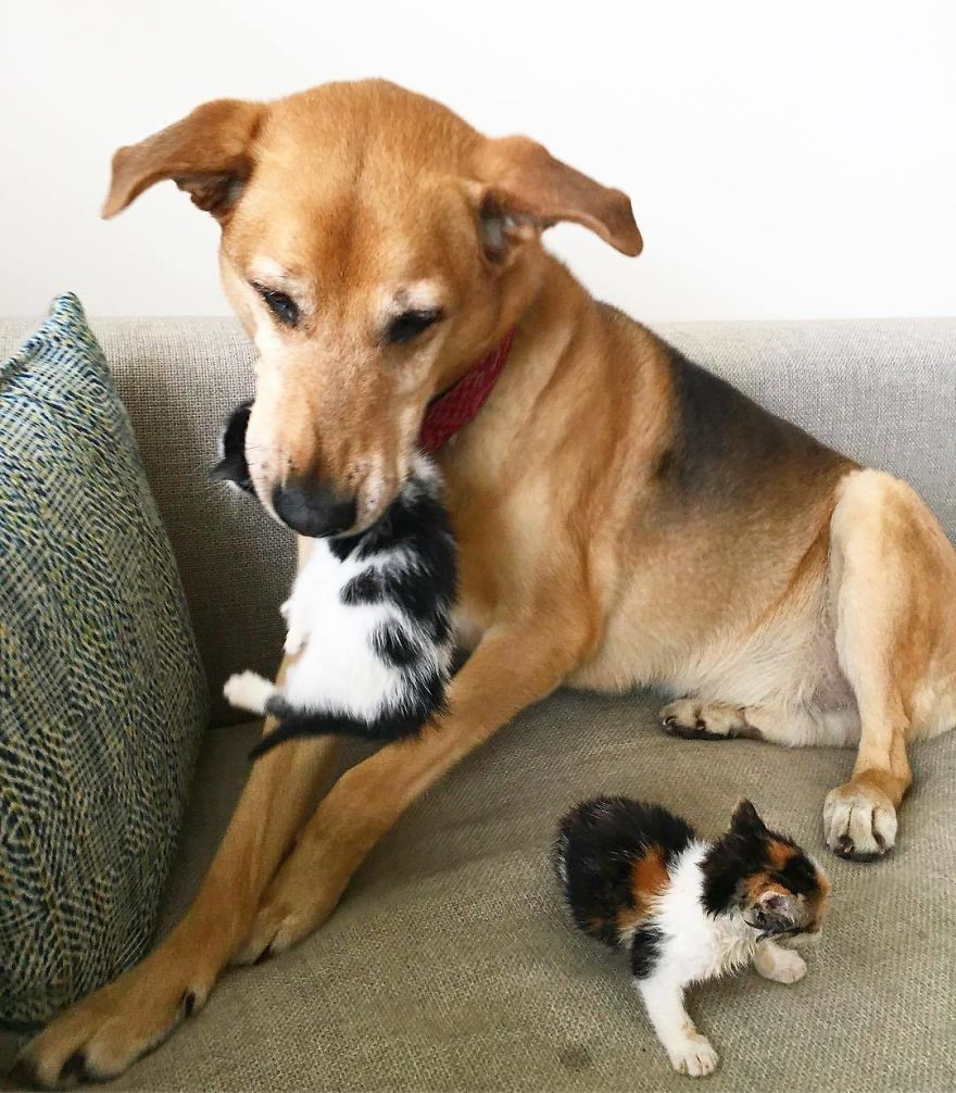 Shelter Owner For Abandoned Kittens Has A Lovely Dog As A Helper And Couldn't Have A Better One