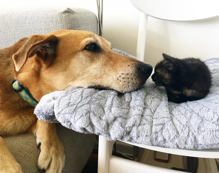 Dog Takes Care Of Every Rescue Kitten In This Cat Shelter And Here Are 30 Pics To Show His Love Is Never-ending