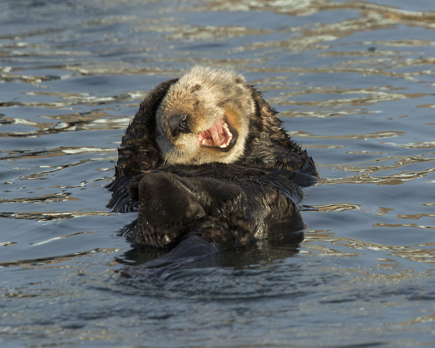 """Laughing Sea Otter."" California, USA"