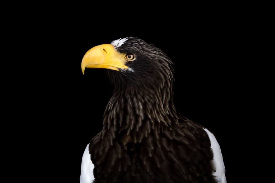Stella's Sea Eagle On Black
