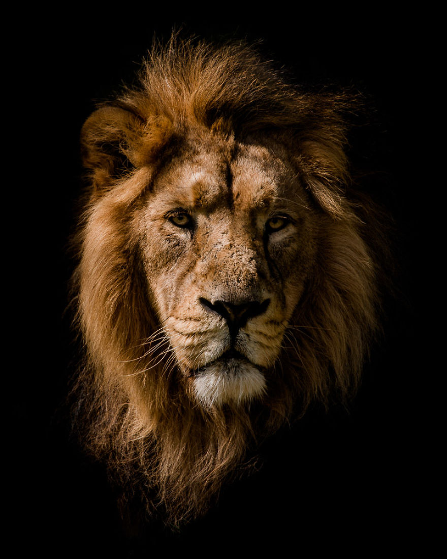 Low Key Lion Portrait