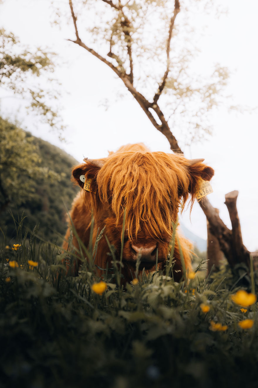 Highlander In Spring