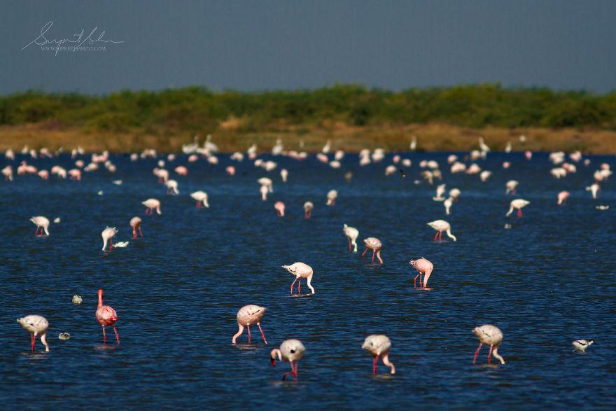 Group Of Flamingos - Flamboyance