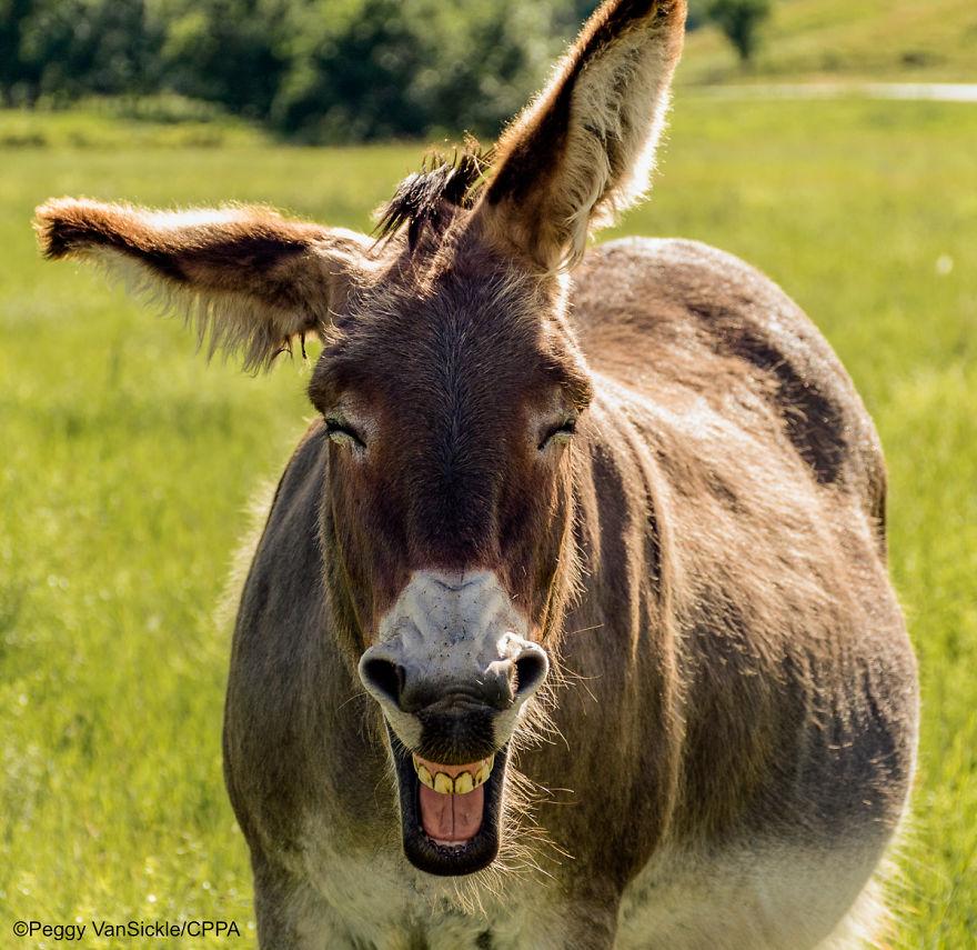 Laughing Burro