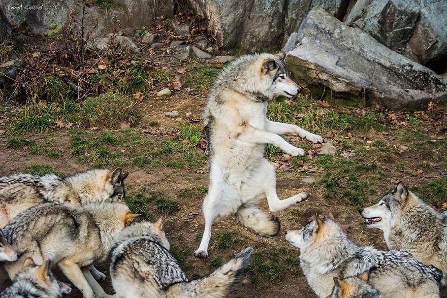 Do The Wolf Dance
