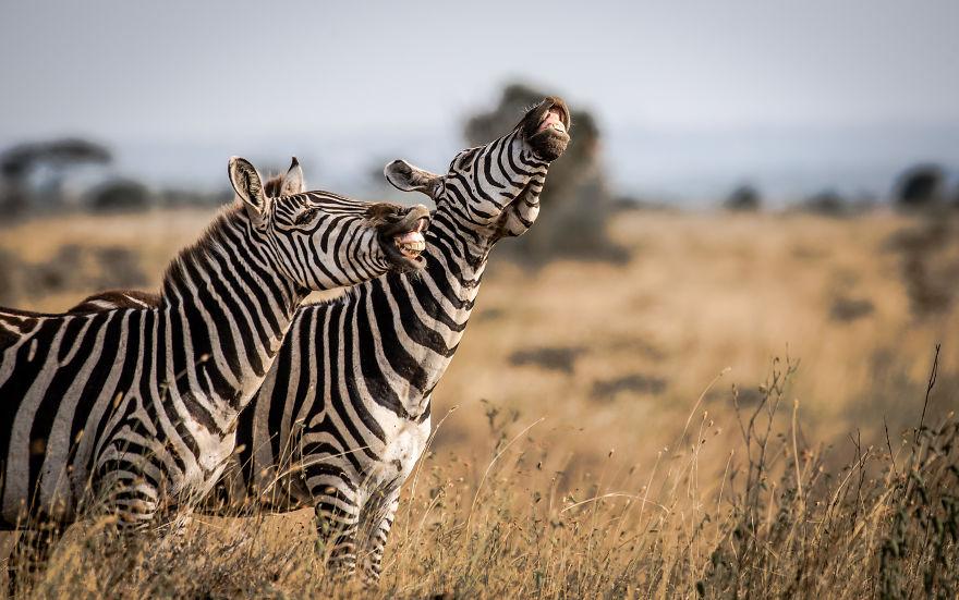 """Laughing Stock."" Zebra, Nairobi National Park, Kenya"