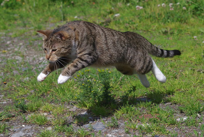 The Bee-Chasing Cat