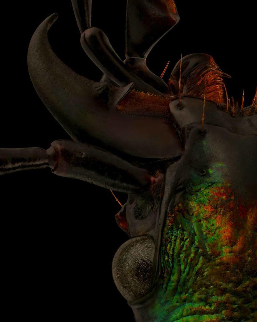 Carabus Rutilans Beetle