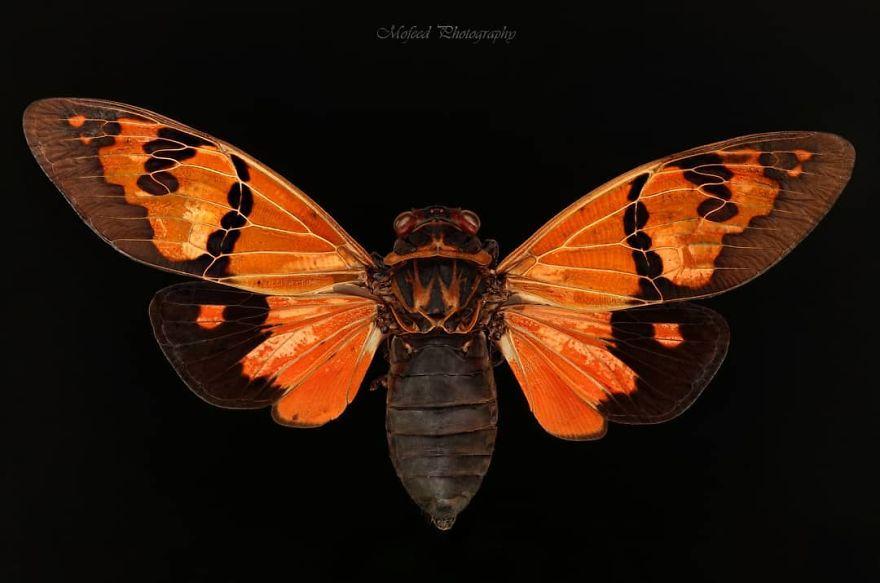 Portakal Ağustosböceği